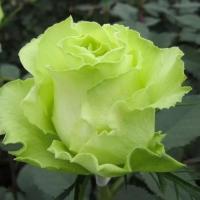 Роза чайно-гибридная Лимбо (Limbo)