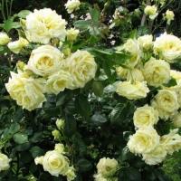 Роза плетистая Эльф (Elfе)