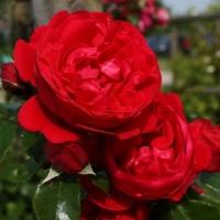 Роза плетистая сорт Флорентина (Florentina)