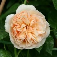 Роза английская   Джульетта (Juliet)